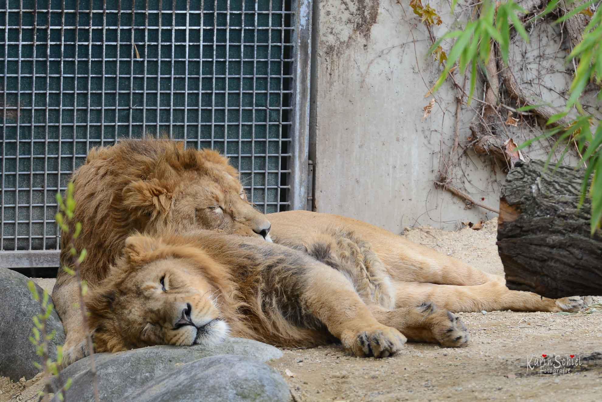 Löwen in der Wilhelma