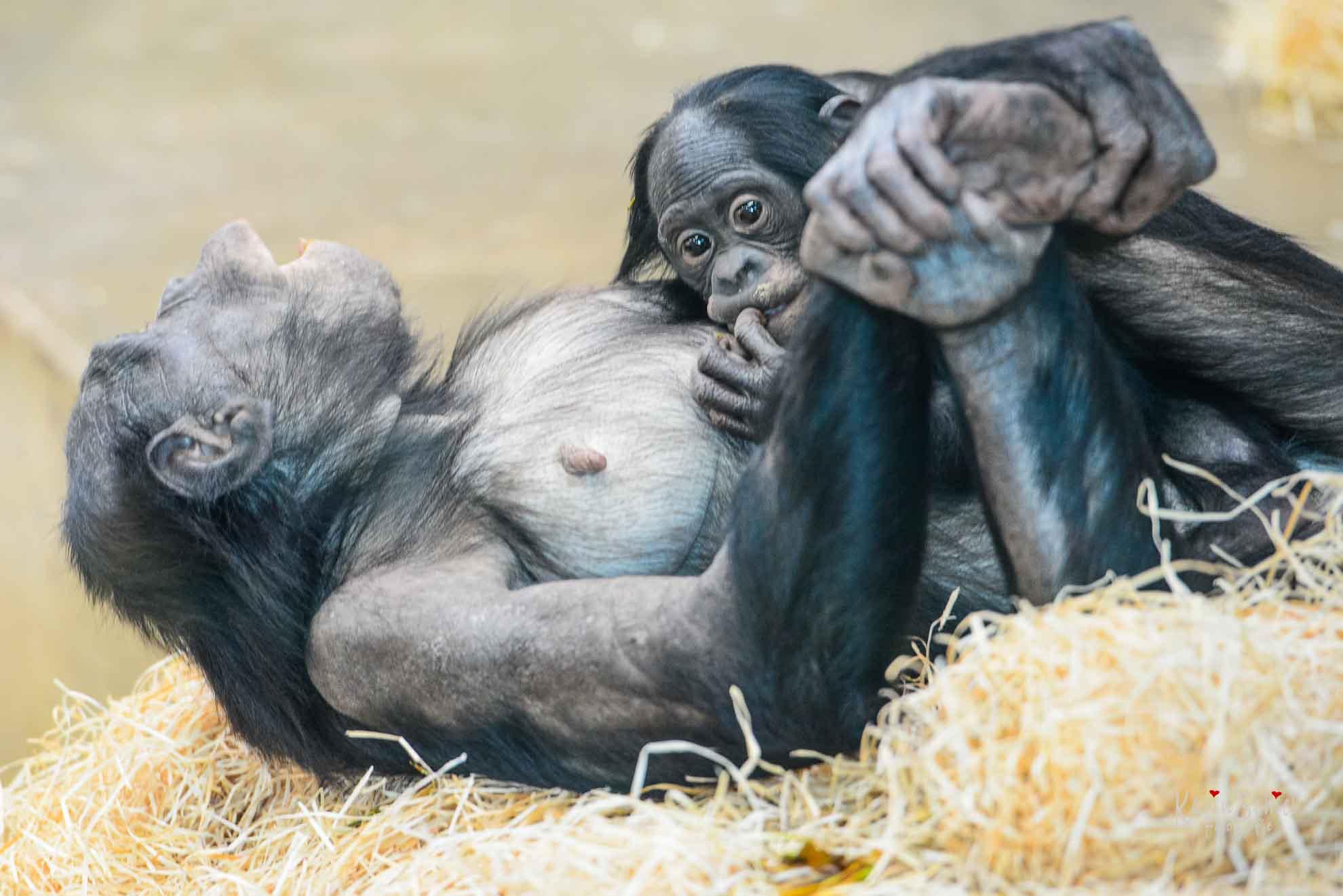 Bonobos in der Wilhelma